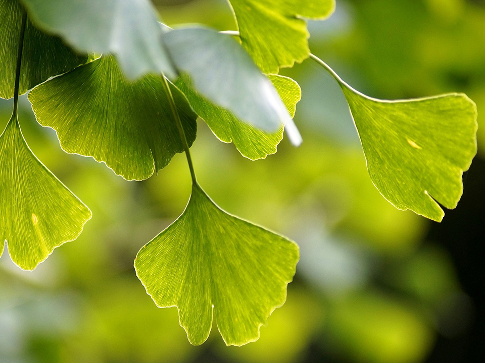 Smithsonian Scientists - Gingko Biloba Project