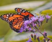 Annual Monarch Migration