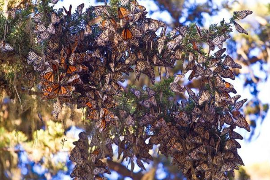 Monarch Butterfly Sanctuary in Pacific Grove