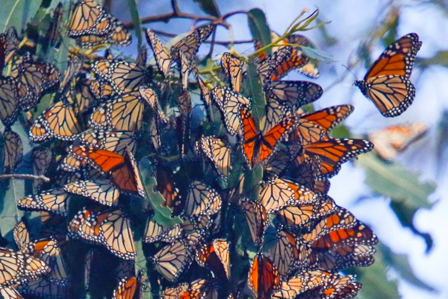 Monarch Butterfly Grove at Pismo Beach