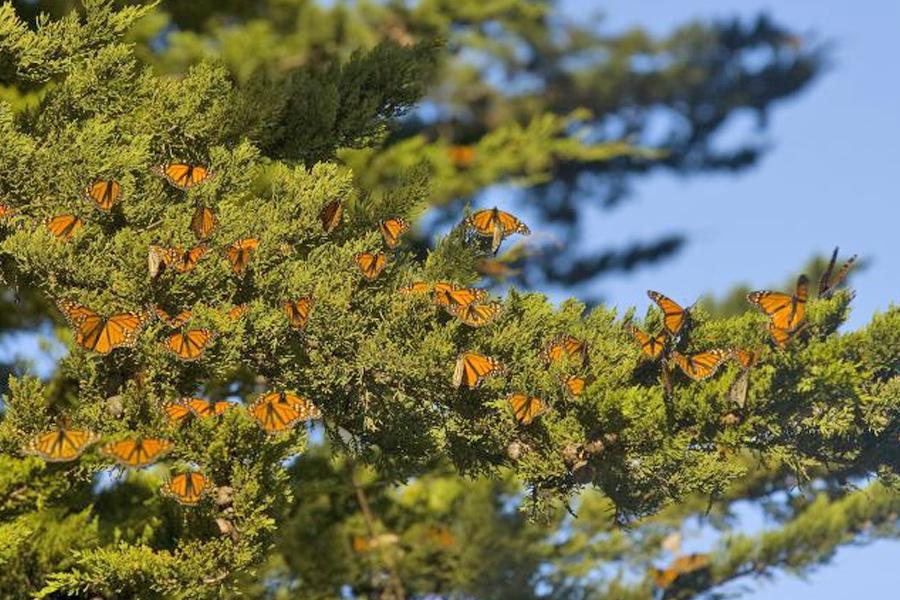 Monarch Butterfly Grove in Santa Cruz