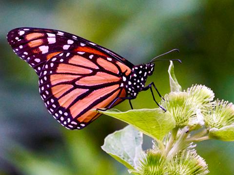 Monarch Butterfly - Adam Muise