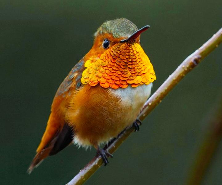 Allen's Hummingbird - Adult Male