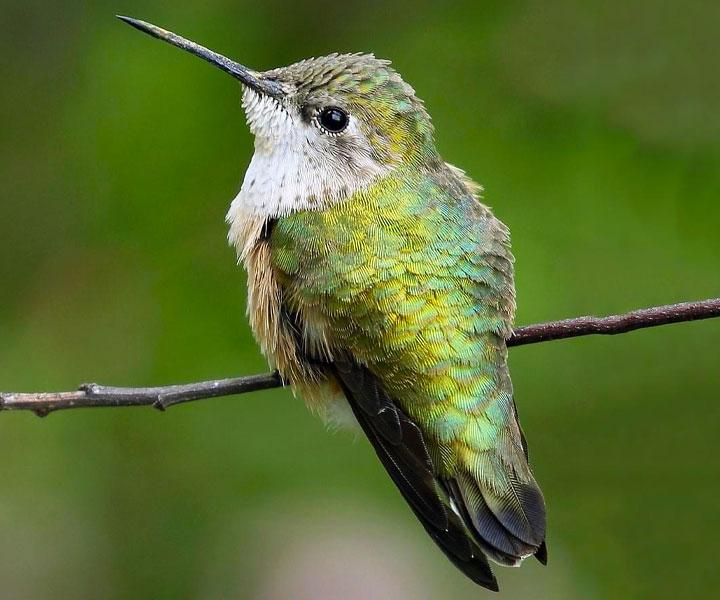 Calliope Hummingbird - Female