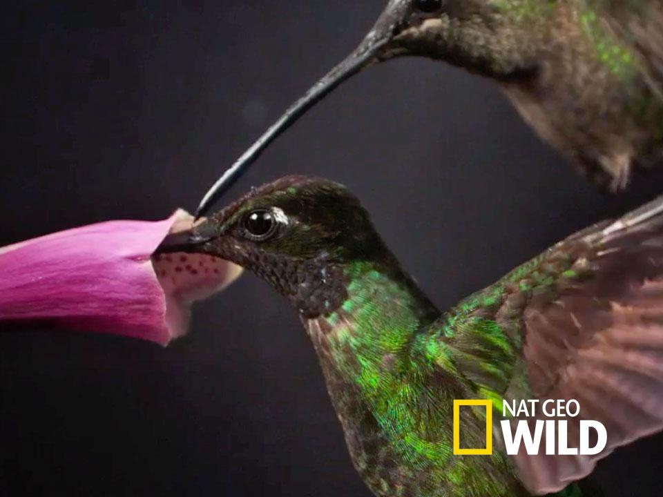 Nat Geo Video - Hummingbird