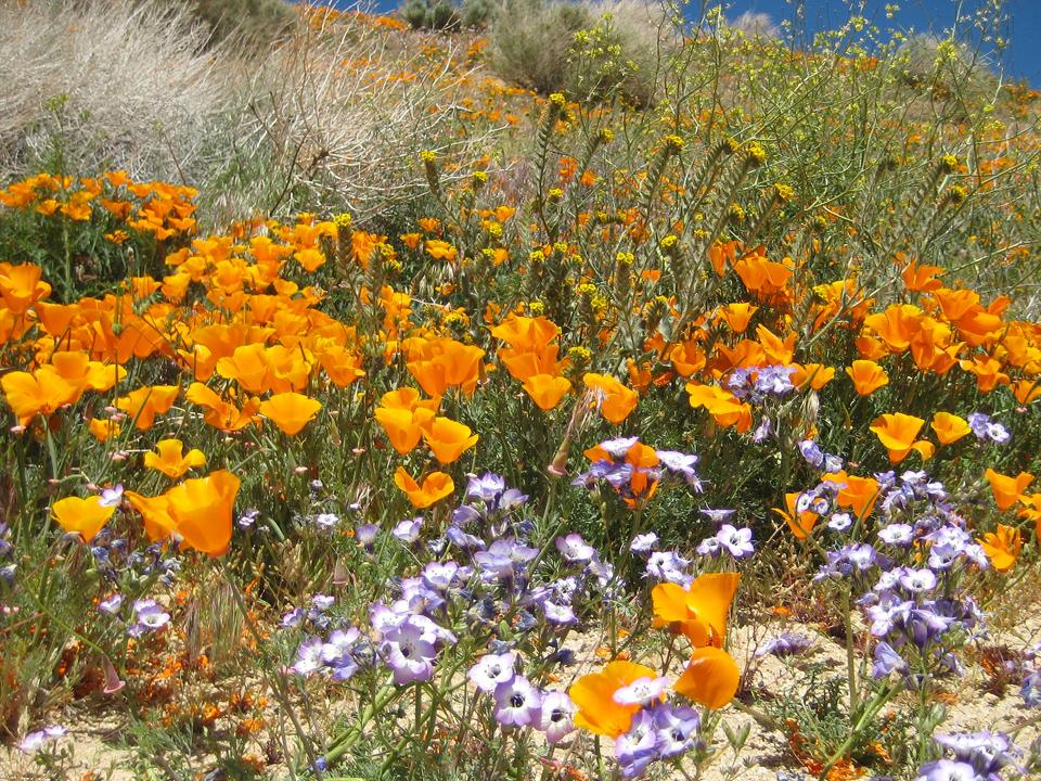 Antelope Valley - California Poppy Reserve
